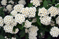 Bridal Wreath Spirea. Close up of a Bridal Wreath Spirea Stock Photography