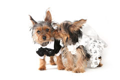 Free Bride And Groom Yorkshire Terrier Puppies On White Stock Image - 52607151