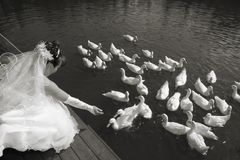 Bride feeds ducks Royalty Free Stock Images