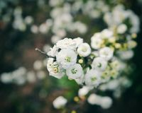 Bride flowers. Closeup of White spring flowers Stock Photos