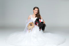Bride girl with Spitz dog wedding couple. Beautiful bride young woman holding spitz wedding couple over grey background. dog bride in skirt and veil, groom in Stock Photography