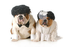 Bride and groom dog royalty free stock images