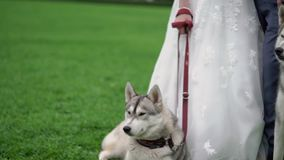 Bride and groom with husky dogs. In park stock video footage