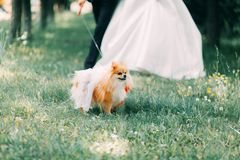 Bride and groom walking dog Terrier. Wedding walk with the dog of the Terrier stock image