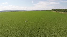 Bride and groom walking on a green field. shooting drone. Bride and groom walking on a green field. shooting drone stock video footage