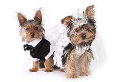 Bride and Groom Yorkshire Terrier Puppies on White Stock Photo