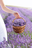 Bride holding basket with lavender flowers Royalty Free Stock Photos