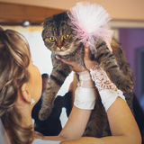 Bride holds in her hands a funny cat with a big bow Stock Images