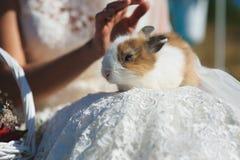Bride holds rabbit on lap Royalty Free Stock Photo