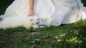 Bride in white dress gently caress samoyed puppy who lies near her legs. Woman is dressed in clothes of same color with little dog, it looks like so pretty stock video footage