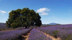 Bridestowe淡紫色农场 影视素材