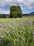 Bridestowe Lavender Estate farm Tasmania Australia stock image