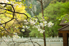 bridge and bauhinia flower Stock Image
