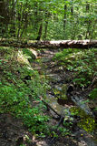 Bridge of birch log on forest ravine Stock Image
