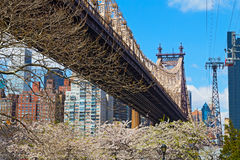Bridge, blooming trees and a view on Manhattan, New York. Tramway cabin alongside of 59th Street Bridge Stock Photography