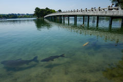 Bridge with fish in lake in japanese park in Fukuoka stock images