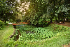 The bridge and Green caladium elephant ear plant. Green caladium elephant ear plant in Marsh stock photos