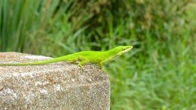 Bridge Lizard Royalty Free Stock Photo