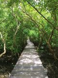 Bridge at mangrove forest , Royal project , Thailand. Bridge at mangrove forest ,Royal project , Thailand Royalty Free Stock Photos