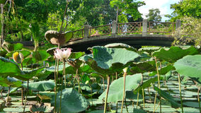 Bridge over Blooming lotus in the pond in the hot summer day Royalty Free Stock Images
