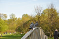 Bridge. railing. bird. pigeon eye. background. a park. grass. summer. body Stock Images