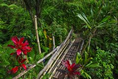 Bridge in Rainforest. Rice terrace field, bali indonesia royalty free stock image