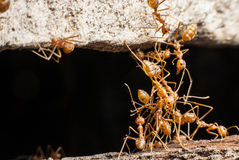 The bridge red ant Royalty Free Stock Photos