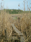 Bridge in the reeds. Bridge of wooden planks over the swamp Stock Image