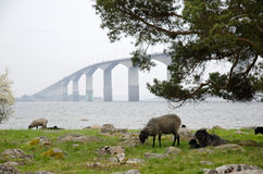 Bridge with sheeps. In front of the bridge from Kalmar to Oland in Sweden Royalty Free Stock Images