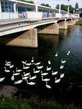 bridge swans Arkivfoto