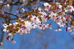 Pink Cherry Blossoms in Bloom Against Blue Sky Stock Image