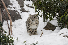 Snow Leopard Cub Pausing on Snow Path by Trees, Boulders Royalty Free Stock Photo