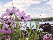 Bridge view through pink, delicate flowers Stock Images