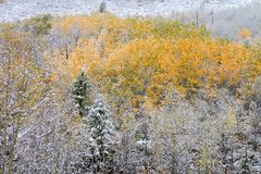 Bridger Teton National Forest. Bright yellow leaves covered with snowfall in the Bridger Teton National Forest of Wyoming Royalty Free Stock Photography