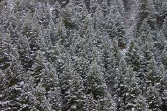 Bridger Teton National Forest Wyoming. Background of snow covered pine trees in the Bridger Teton National Forest of Wyoming Royalty Free Stock Photos