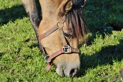 Bridle, Horse, Grass, Fauna Royalty Free Stock Photo