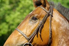 Bridle, Horse, Halter, Horse Tack Royalty Free Stock Photo
