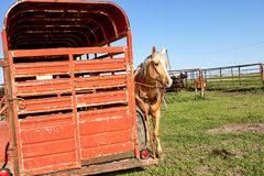 Bridled horse standing next to a horse box. In a grassy pasture with a cattle pen visible behind stock photography