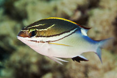 Bridled monocle Bream. Swimming on coral reef underwater in Tulamben, Bali Idonesia Royalty Free Stock Images