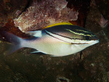 Bridled Monocle Bream. Fish in Philippines Stock Photo