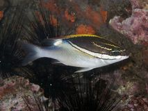 Bridled Monocle Bream - Scolopsis bilineatus Stock Photo