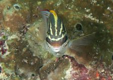 Bridled monocle bream or two-line monocle bream  Scolopsis bilineata  swimming over coral reef of Bali, Indonesia. Closeup of bridled monocle bream or two-line Royalty Free Stock Image