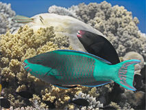 Bridled parrotfish fish in water near coral reef in tropical sea Stock Images
