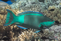 Bridled parrotfish fish in water near coral reef in tropical sea Stock Image