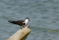 Bridled tern perched on a wooden log. The Bridled tern is a seabird of the tern family stock photography