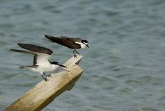 Bridled tern. The Bridled tern is a seabird of the tern family royalty free stock image