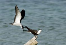 A pair of Bridled terns. The Bridled tern is a seabird of the tern family royalty free stock photos