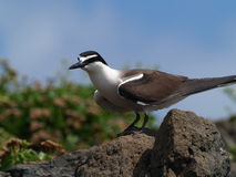 Free Bridled Terns (Sterna Anaethetus) Stock Image - 13794571