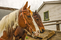 Bridled and Waiting Royalty Free Stock Images