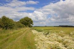 Bridleway e fiori della camomilla Immagini Stock